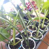 Эухарис по цене 200₽ - Луковичные растения, фото 1