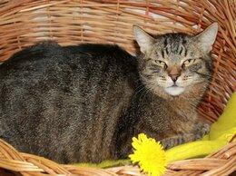 Кошки - Тигран Потапыч, настоящий полосатый кот. В…, 0