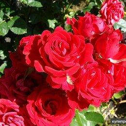 Цветы, букеты, композиции - Плетистая роза Фламентанц. Возраст розы 4 года., 0