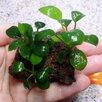 Жестколистное аквариумное растение Анубиас Нана на лаве по цене 500₽ - Растения для аквариумов и террариумов, фото 0