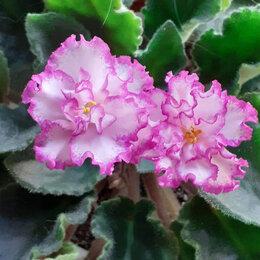 Комнатные растения - Листики фиалок, 0