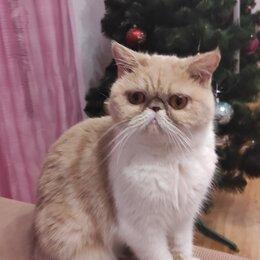 Кошки - Экзотическая короткошерстная кошка, 0