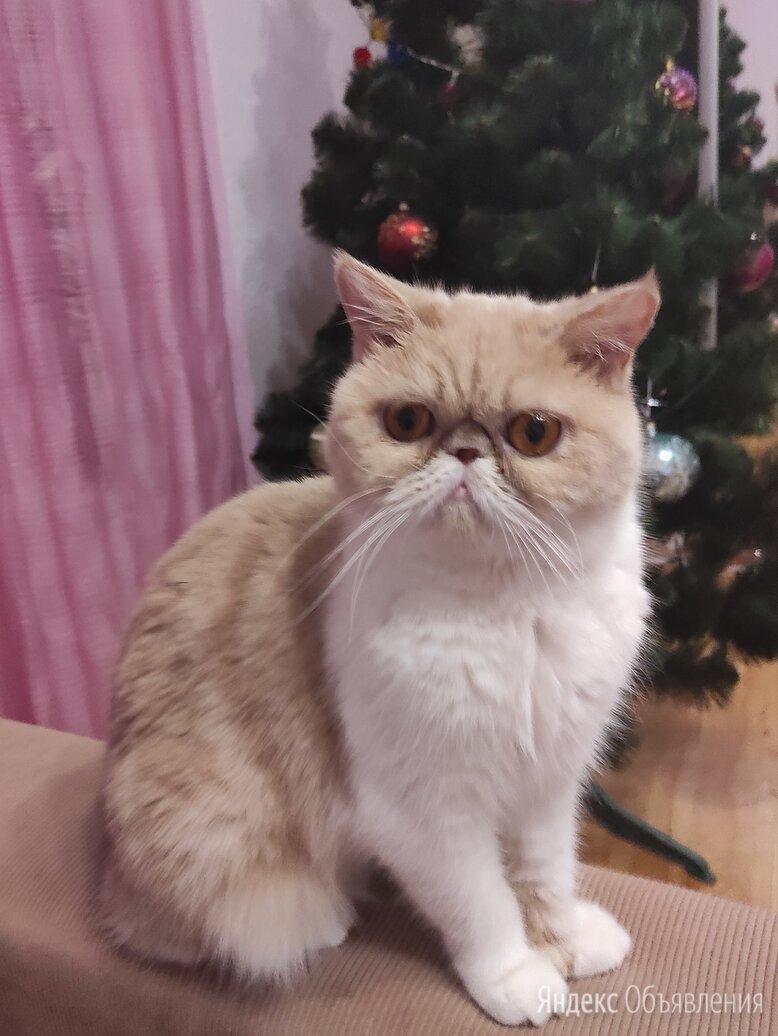Экзотическая короткошерстная кошка по цене 4888₽ - Кошки, фото 0