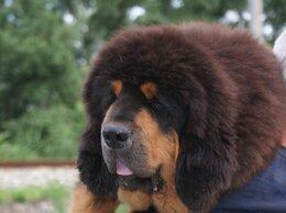 Собаки - Тибетский мастиф, Китай, мальчик 5 месяцев, 0