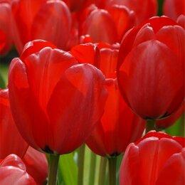 Луковичные растения - Тюльпаны .Шестой в подарок., 0