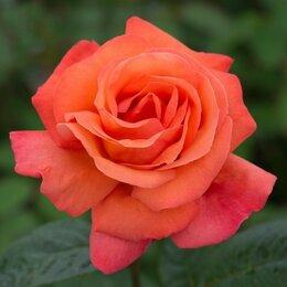 Рассада, саженцы, кустарники, деревья - Роза флорибунда Ориндж Пассион, 0
