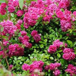 Рассада, саженцы, кустарники, деревья - Плетистая роза Супер Эксцельса (роза непрерывного цветения), 0