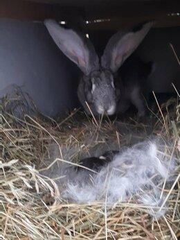 Сельскохозяйственные животные - Кролики ризен, серый великан , калифорния,…, 0