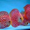 Дискус красная панда по цене 6000₽ - Аквариумные рыбки, фото 3