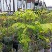 Саженцы кедр, пихта, орех маньчжурский и др по цене 200₽ - Рассада, саженцы, кустарники, деревья, фото 7