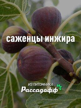 Рассада, саженцы, кустарники, деревья - Саженцы инжира Оптом, 0