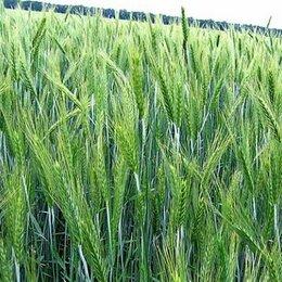 Семена - Продам семена яровая тритикале - сорт КАРМЕН (ОС-РС), 0