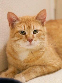 Кошки - Неотразимый рыжик Симба в поисках дома, 0