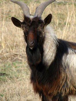 Сельскохозяйственные животные - Альпийский козлик, 0