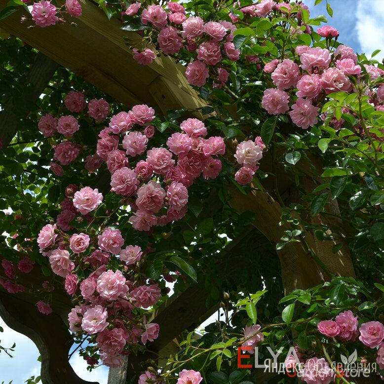 Саженцы плетистой розы Утигорд Фоллс, корнесобственные, ЗКС, бесплатная доставка по цене 890₽ - Рассада, саженцы, кустарники, деревья, фото 0