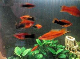 Аквариумные рыбки - Меченосцы разные, 0
