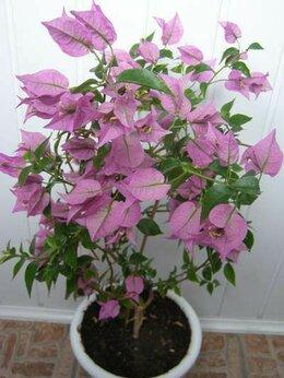 Комнатные растения - Черенки Бразильской красавицы Бугенвиллии, 0