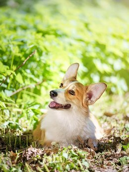 Собаки - вельш корги пемброк, 0
