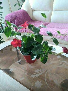 Комнатные растения - Дипладения Лиана, 0