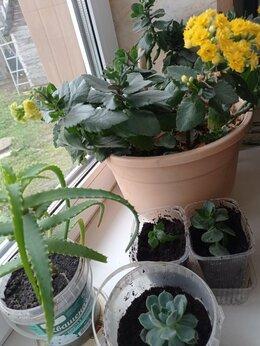 Комнатные растения - Ростки Алоэ, Каланхоэ, Граптопеталума , 0