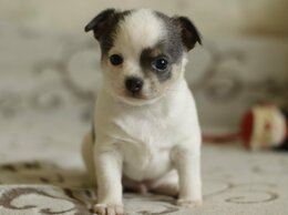 Собаки - Чихуахуа щенок , 0