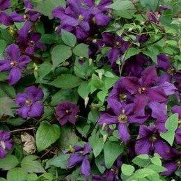 Рассада, саженцы, кустарники, деревья - Клематис фиолетовый, 0