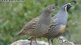 Птицы - перепела, яйца ,мясо ,суточные перепелята, 0