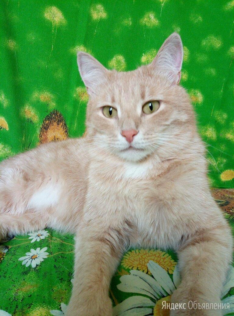 Персиковый красавчик ищет ответственную семью!!!  по цене даром - Кошки, фото 0