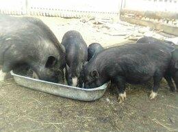 Сельскохозяйственные животные - Продам свинью матку Вьетнамской вислобрюхая , 0