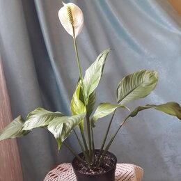 Комнатные растения - Спатифиллум (женское счастье), 0