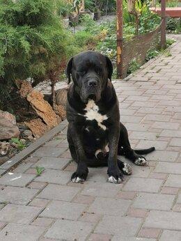 Собаки - Породистый кобель породы Кане Корсо для случки, 0