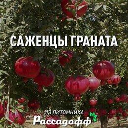 Рассада, саженцы, кустарники, деревья - Саженцы граната 2 годовалые, 0