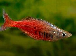 Аквариумные рыбки - Хилатерина радужница сентанийская, 0