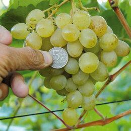 Стеклорезы - Саженцы винограда, 0