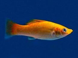 Аквариумные рыбки - Моллинезия золотая, 0