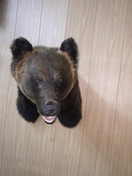 Рога, шкуры, чучела животных - Продам чучело бурого медведя (кейп на стену)., 0