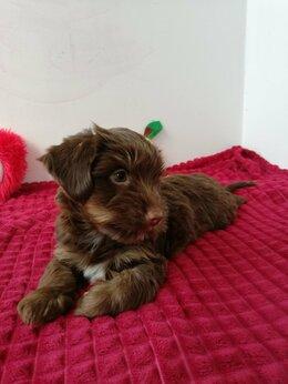 Собаки - Щенки йорка шоколадного , 0