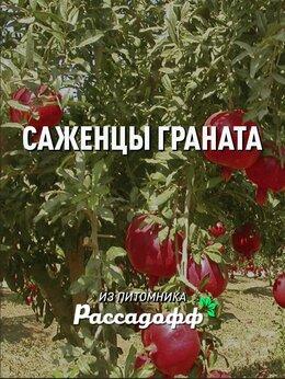 Рассада, саженцы, кустарники, деревья - Саженцы граната от производителя, 0