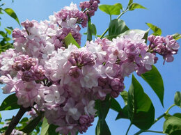 Рассада, саженцы, кустарники, деревья - сирень красавица Москвы, 0