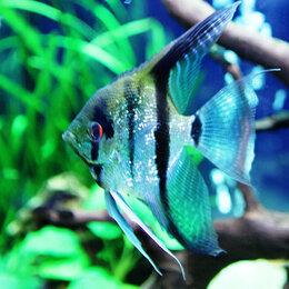 Аквариумные рыбки - СКАЛЯРИЯ ЗЕБРА БРИЛЛИАНТ - ЗАМОРОЖЕННЫЕ И СУХИЕ…, 0