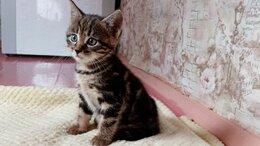 Кошки - Отдадим в дар полутора месячного котика, 0