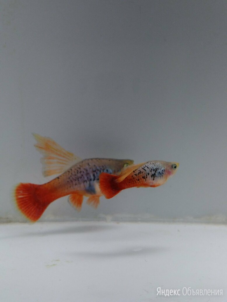 Рыбки Пецилии Флаговые Трехцветные по цене 150₽ - Аквариумные рыбки, фото 0