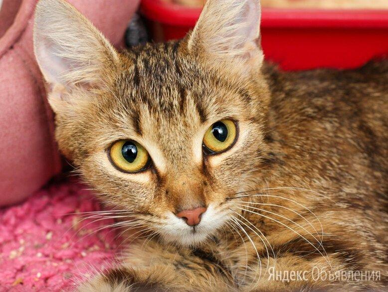 Молодая ручная красавица Вайолет по цене даром - Кошки, фото 0