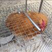 Куры и петухи по цене 800₽ - Сельскохозяйственные животные и птицы, фото 1