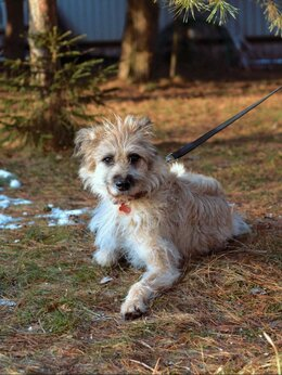 Собаки - Терьеристая нежнейшая собачка ищет дом , 0