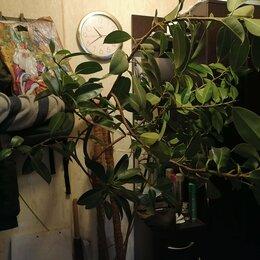Комнатные растения - Продам фикус в хорошие руки, 0