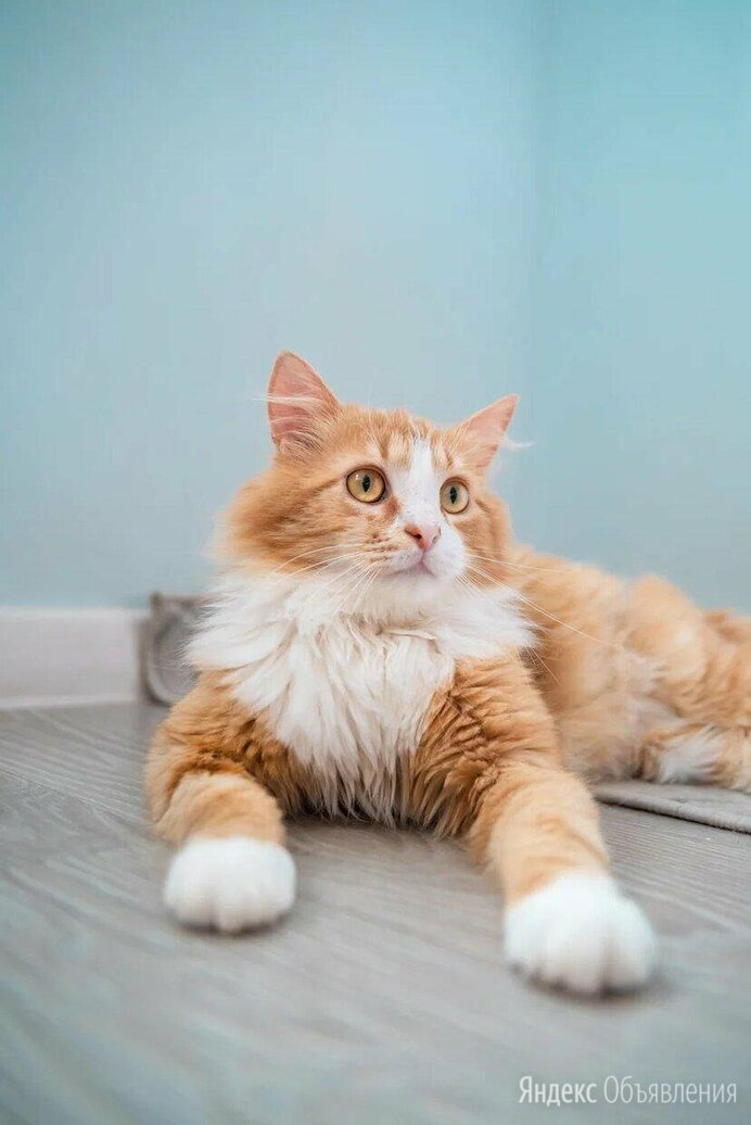 Котенок Лева по цене даром - Кошки, фото 0