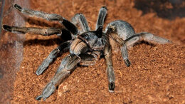 Другие - Ceratogyrus marshalli малыши паука-птицееда L3, 0