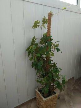 Комнатные растения - Циссус ( березка), 0