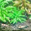 Креветки Green Jade Extreme темно Зеленые неокаридинаы, чистая Германская линия по цене 150₽ - Аквариумные рыбки, фото 7